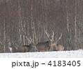 エゾジカ 鹿の群れ エゾシカの写真 4183405