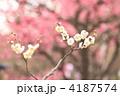 南高梅 ナンコウバイ 梅の写真 4187574