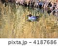 野鳥 渡り鳥 カモの写真 4187686