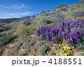花壇 花畑 花園の写真 4188551