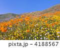 ワイルドフラワー 花壇 花畑の写真 4188567