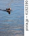 渡り鳥 カモ コガモの写真 4192390