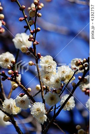 白梅 八重野梅(やえやばい)の開花です。 4192757