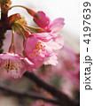 カワヅザクラ 河津桜 花の写真 4197639