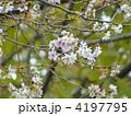 十月桜 ジュウガツザクラ じゅうがつざくらの写真 4197795