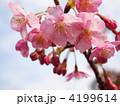 カワヅザクラ 河津桜 早春の写真 4199614