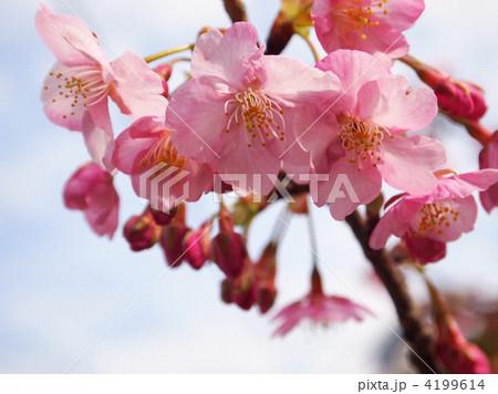 河津桜 4199614