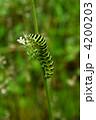 キアゲハの幼虫 キアゲハ アオムシの写真 4200203