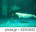 シロイルカ ベルーガ 水中ショーの写真 4201642