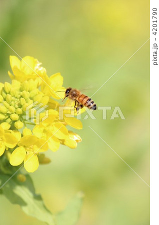 菜の花畑とミツバチ2 4201790