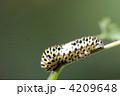 芋虫 幼虫 キアゲハの写真 4209648
