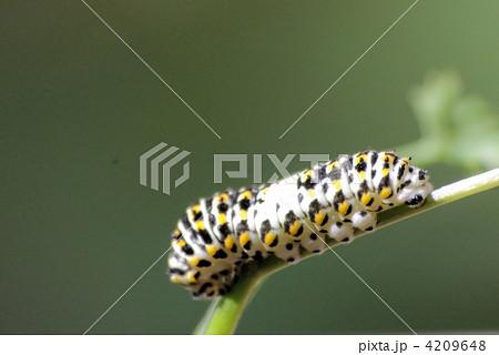 キアゲハの幼虫(クローズアップ) 4209648