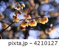 ロウバイ 黄梅 ろうばいの写真 4210127