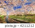 ライトアップ 夜桜 桜並木の写真 4211212