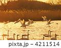 コハクチョウ 飛翔 夕日の写真 4211514