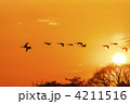 コハクチョウ 飛翔 渡り鳥の写真 4211516