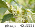 シキミの花 4213331