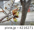 安房勝山駅前でもう直ぐ開花する蕾を付けたカワヅザクラ 4216271