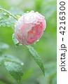 水滴のついたピンクのバラ 4216300