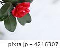 雪の中のさざんか 4216307