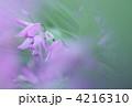 紫のシラン 4216310