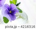 ビオラ アップ 4216316