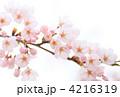 桜の枝 4216319