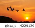 コハクチョウ 飛翔 夕日の写真 4229120