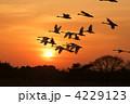 コハクチョウ 飛翔 夕日の写真 4229123