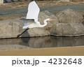 白鷺 シラサギ ダイサギの写真 4232648