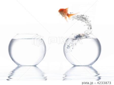 Goldfishの写真素材 [4233873] - PIXTA