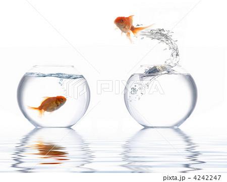 Jumping golden fishの写真素材 [4242247] - PIXTA