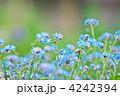 ワスレナグサ 勿忘草 花畑の写真 4242394