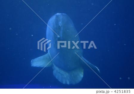 縦泳ぎマンボウ 4251835