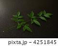 南天の葉 4251845