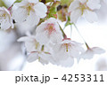 オオシマザクラ 大島桜 桜の写真 4253311