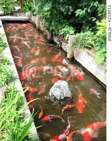 鯉の群れ(路地裏の短水路) 4258051