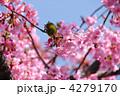 カワヅザクラ メジロ 河津桜の写真 4279170