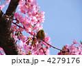 カワヅザクラ メジロ 河津桜の写真 4279176