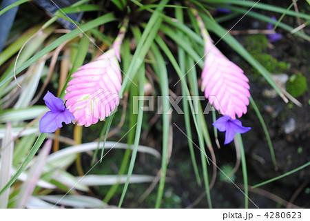 ハナアナナス(和名)京都府立植物園にて撮影 4280623