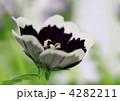瑠璃唐草 ルリカラクサ ペニーブラックの写真 4282211