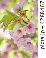 河津桜 カワヅザクラ 桜の写真 4288467