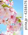 河津桜 カワヅザクラ 桜の写真 4288476