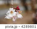 寒桜 4289801