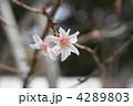 寒桜 4289803