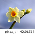 水仙 4289834