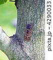 セミ アブラゼミ 蝉の写真 4290033