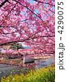 河津桜 カワヅザクラ 満開の写真 4290075