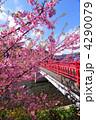 河津桜 カワヅザクラ 満開の写真 4290079