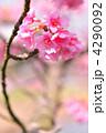 河津桜 カワヅザクラ 満開の写真 4290092